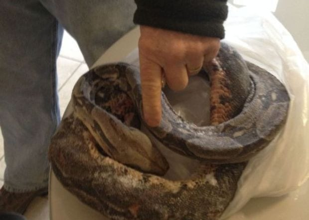Fisherman finds dead boa constrictor in Lake Monona